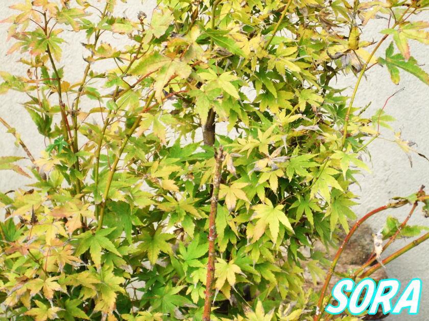 サンゴモミジ 単木 樹高H:1800mm