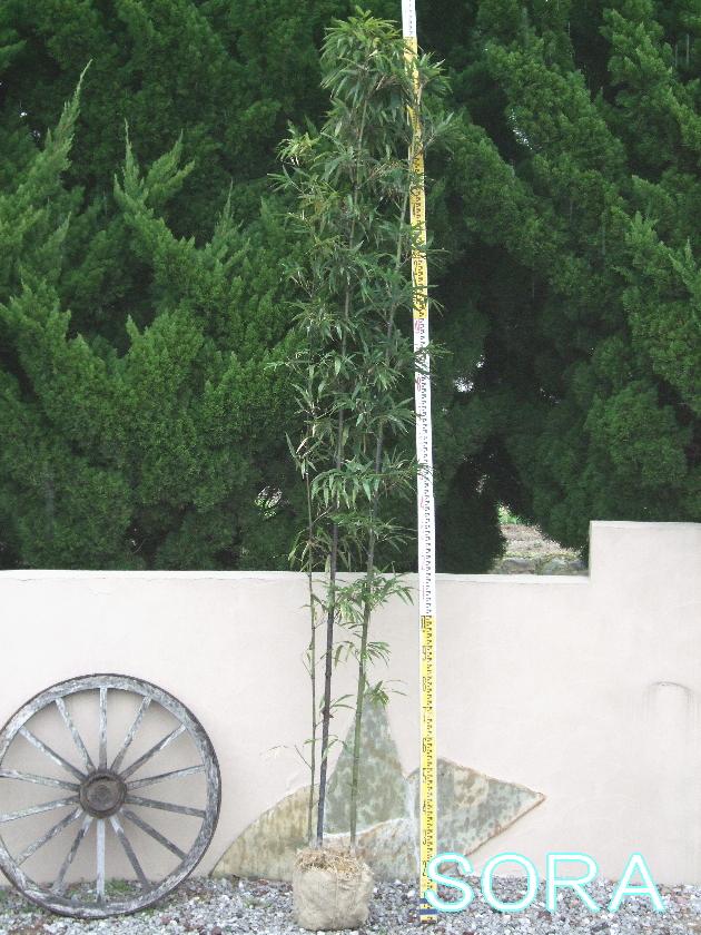 クロチク 株立 樹高 H:1500mm
