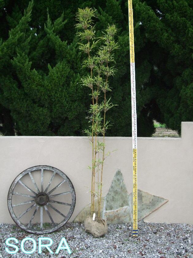 スズコナリヒラチク 株立 樹高 H:1500mm