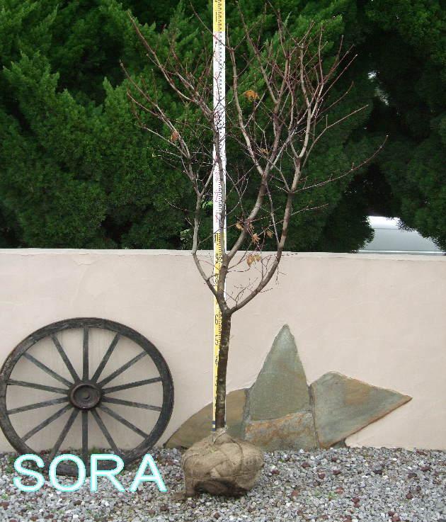 コハウチワカエデ 単木 樹高 H:3000mm 05P03Dec16