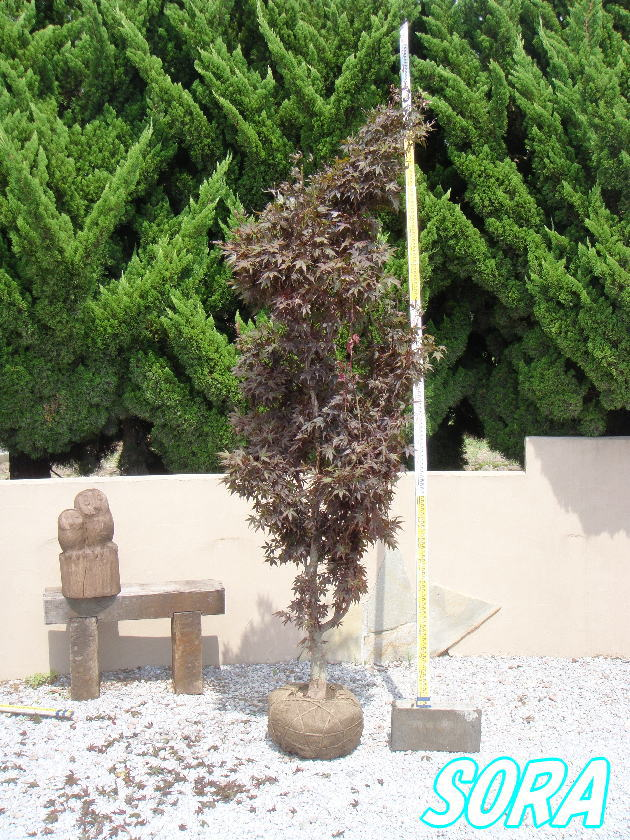 ノムラモミジ 単木 樹高H:1500mm