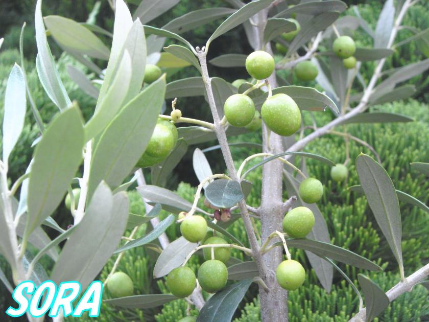 オリーブ チプレッシーノ 樹高H:2500mm 05P03Dec16