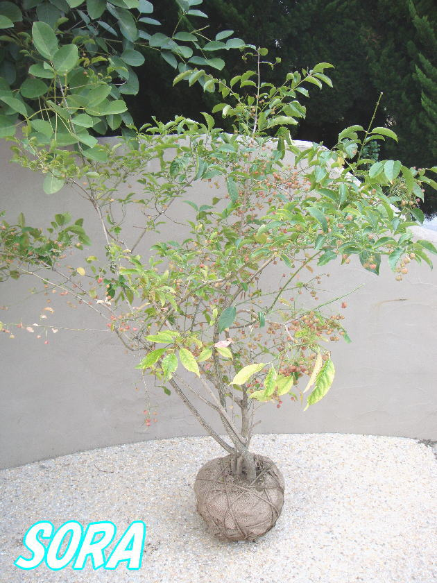 マユミ H1400~1600