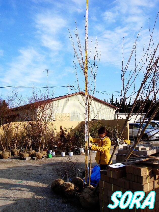 ソメイヨシノ 単木 樹高 H:4000mm 05P03Dec16