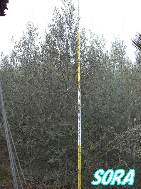 オリーブ 品種指定不可 樹高H:3000mm 05P03Dec16