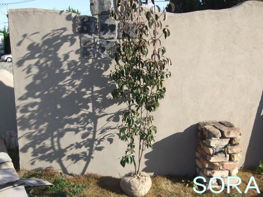 常緑ヤマボウシ 株立 樹高H:1800mm 05P03Dec16
