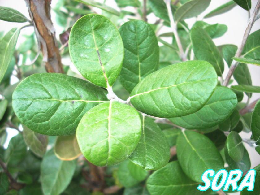 フェイジョア 品種不明 樹高H:1800mm