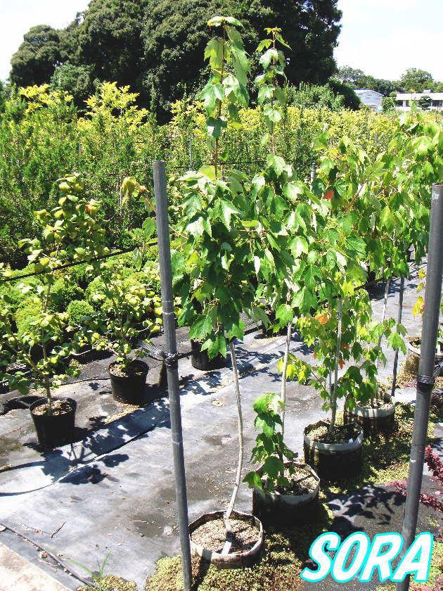 アメリカハナノキ レッドサンセット 樹高H:1800mm