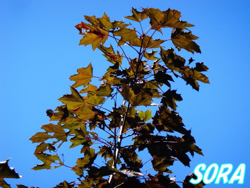ノルウェーカエデ クリムソンキング 単木 樹高H:3000mm 05P03Dec16