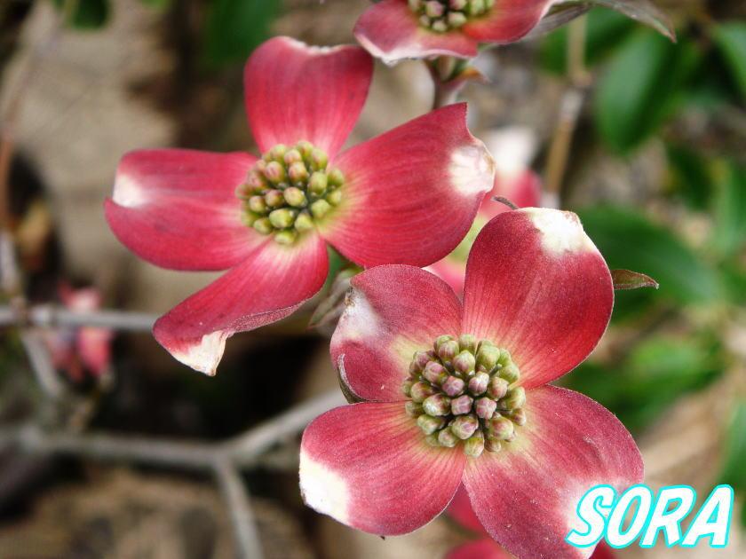 ハナミズキ 赤花 単木 樹高H:1800mm