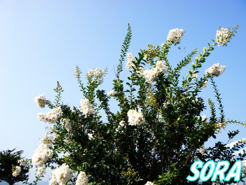 サルスベリ 白花 単木 樹高H:2500mm 05P03Dec16