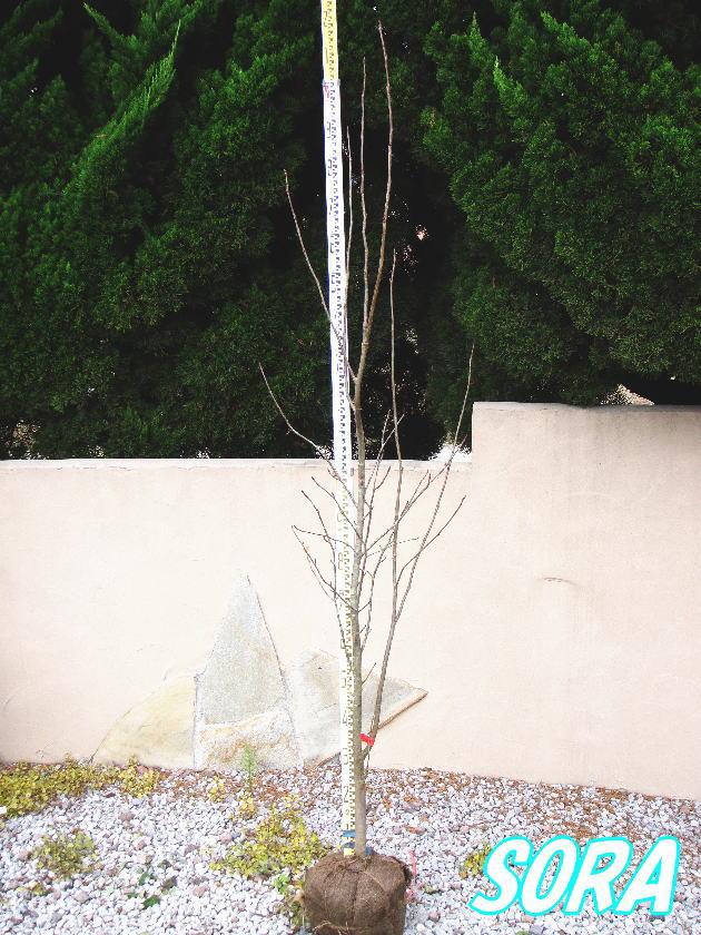 ナナカマド 単木 樹高H:2500mm