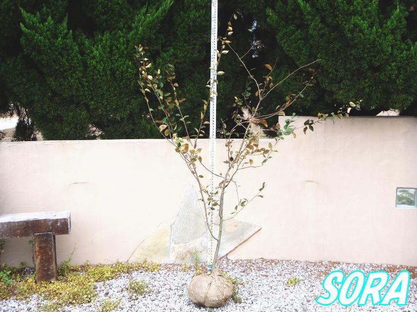 ハナカイドウ 単木 樹高H:1500mm