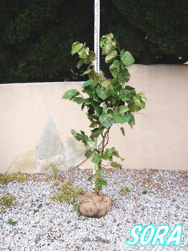 ハナズオウ 単木 樹高H:1800mm