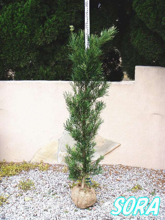 ラカンマキ 樹高H:1500mm