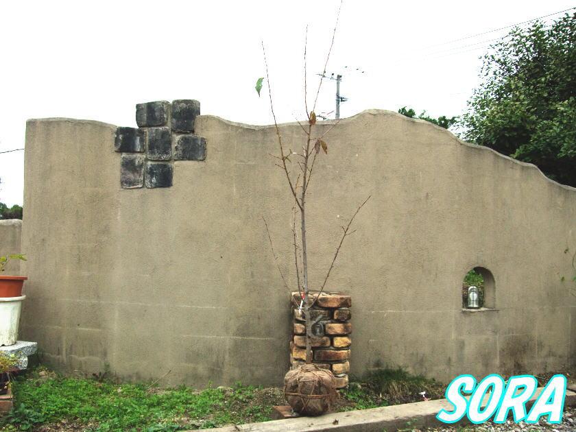 オオシマザクラ 単木 樹高H:3500mm