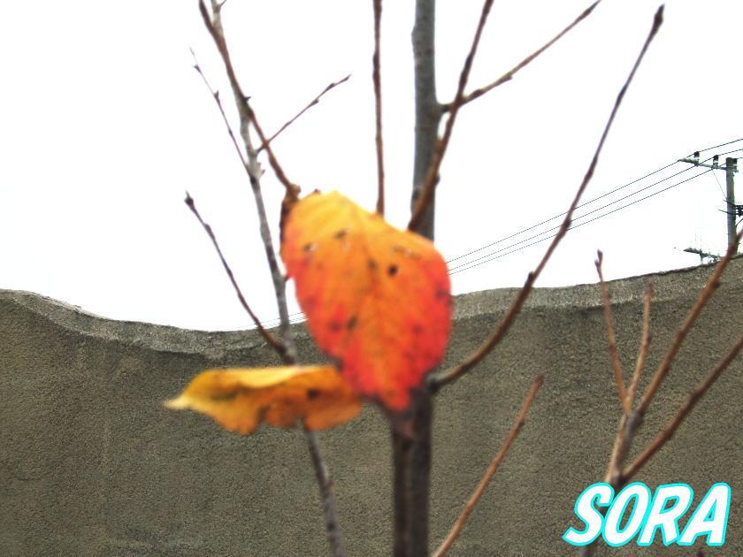 ヨウコウザクラ 単木 樹高H:2500mm