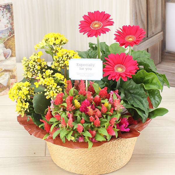 10%OFF 誕生日 花 ギフト プレゼント 敬老の日 記念日 ハピネス 配送日指定可 3種の花で作る季節の花かご 鉢植え 地域別送料無料 お祝い 倉