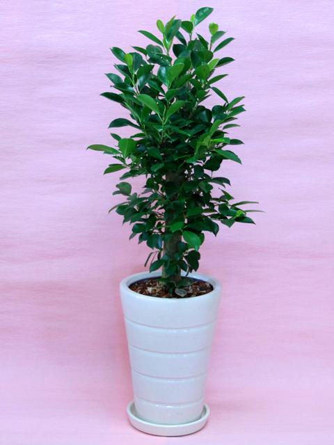 【送料無料】【ガジュマル】観葉植物 ガジュマル白陶器鉢仕立てLサイズ多幸の木としてしられる沖縄原産の植物です!立て札&メッセージカード無料!10P03Dec16