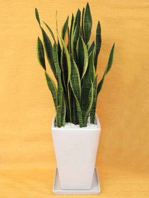 送料無料空気清浄中!マイナスイオン発生中!観葉植物 サンスベリア(サンセベリア)ローレンティー白陶器鉢仕立てLサイズ