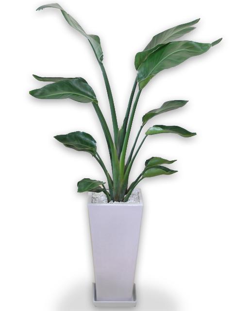 送料無料観葉植物ストレリチア オーガスタ白陶器鉢仕立てLサイズ10P19Jun15