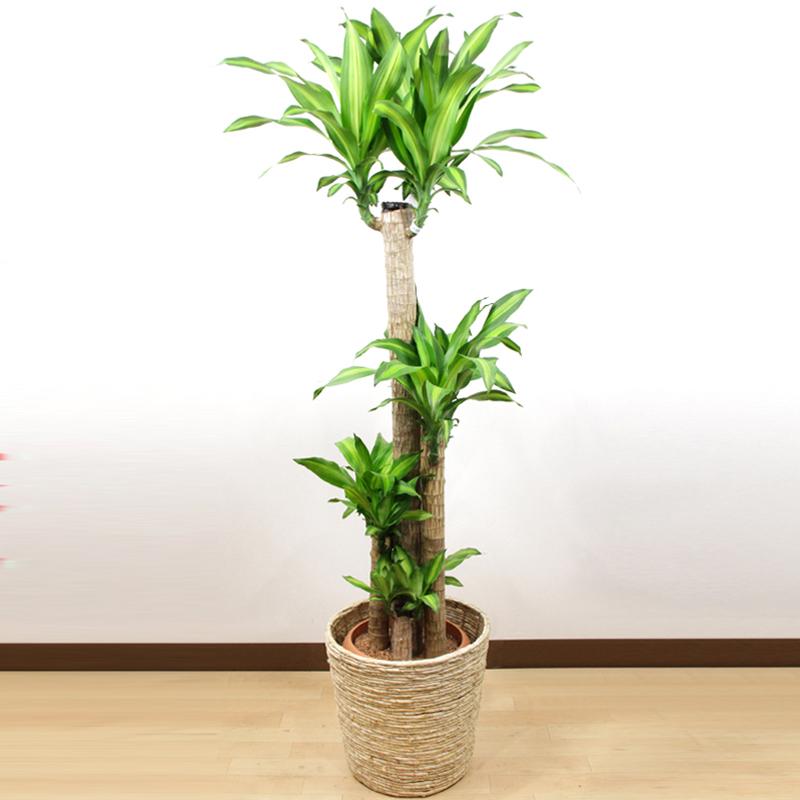 別名:幸福の木 ギフトに喜ばれています ドラセナ 期間限定 マッサンゲアナ10号 10P01Oct16 メッセージカード無料 幸福の木 立て札 特価