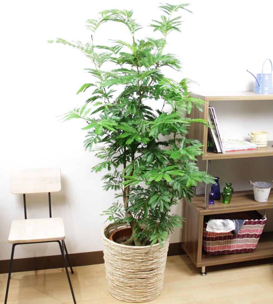 観葉植物 エバーフレッシュ10号【立て札&メッセージカード無料】10P03Dec16