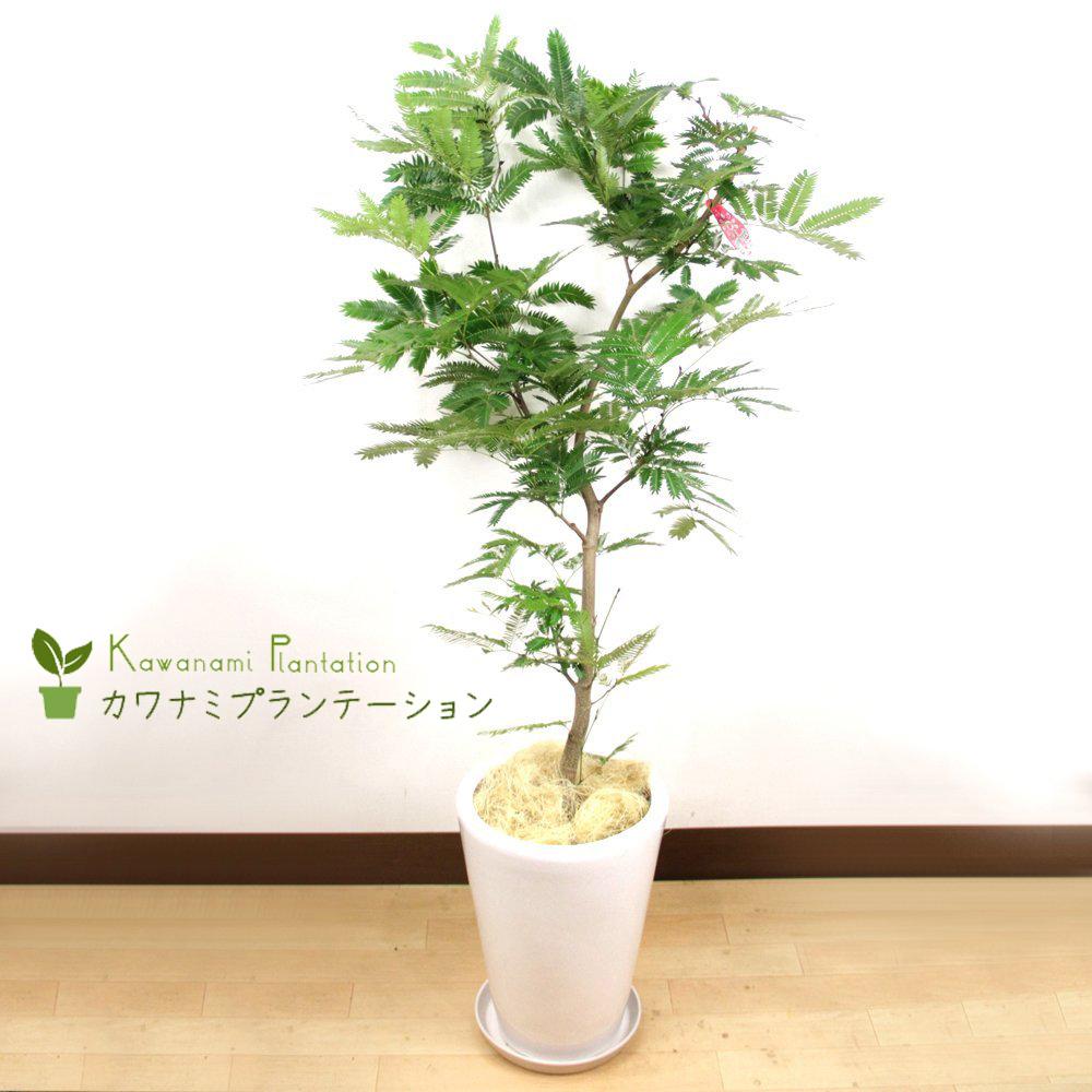 送料無料 お得セット エバーフレッシュ白陶器鉢仕立てLサイズ夜になると葉を閉じる観葉植物 新築御祝 定番から日本未入荷 10P03Dec16 お誕生日御祝 に最適