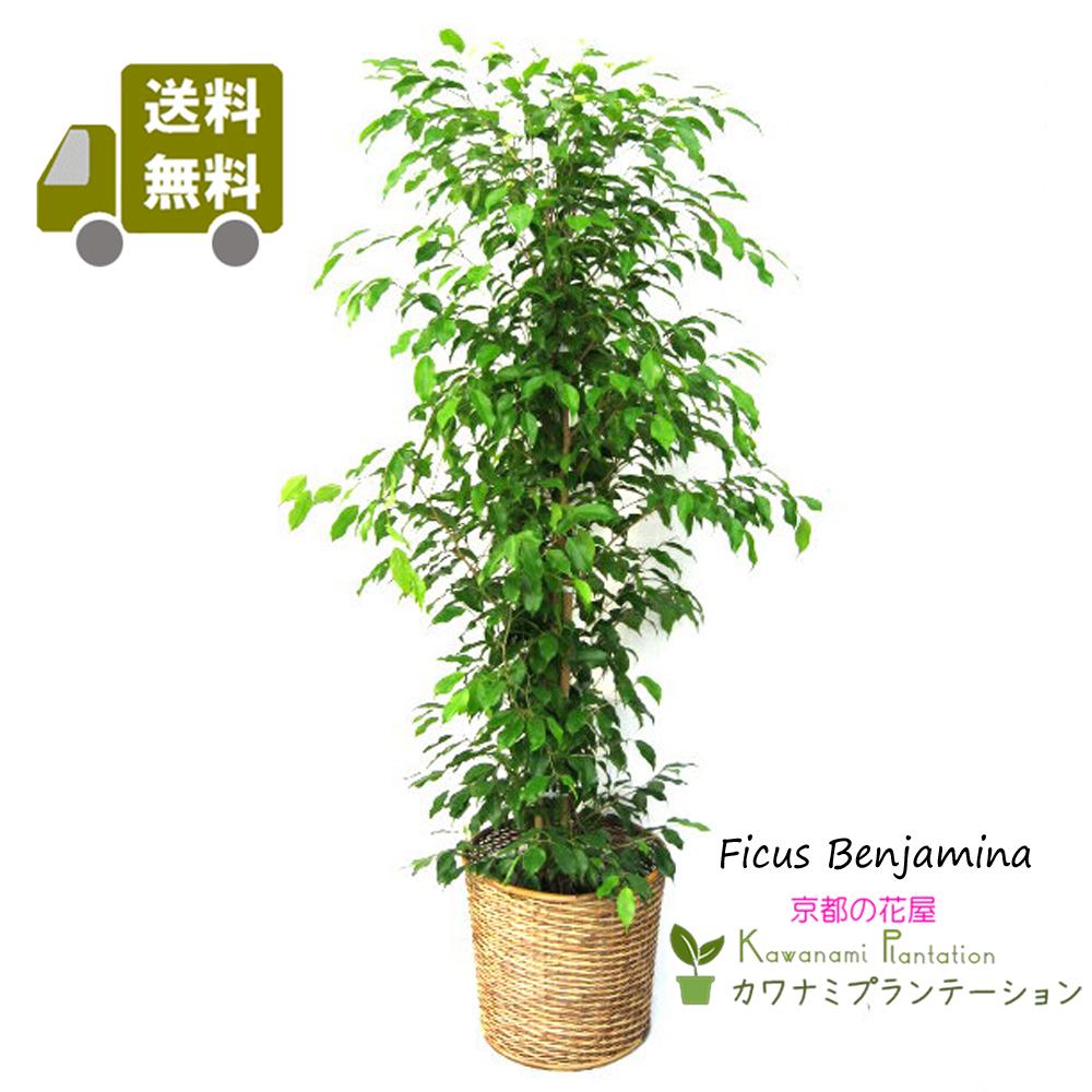 観葉植物 ベンジャミン 10号【送料無料】【立て札&メッセージカード無料】