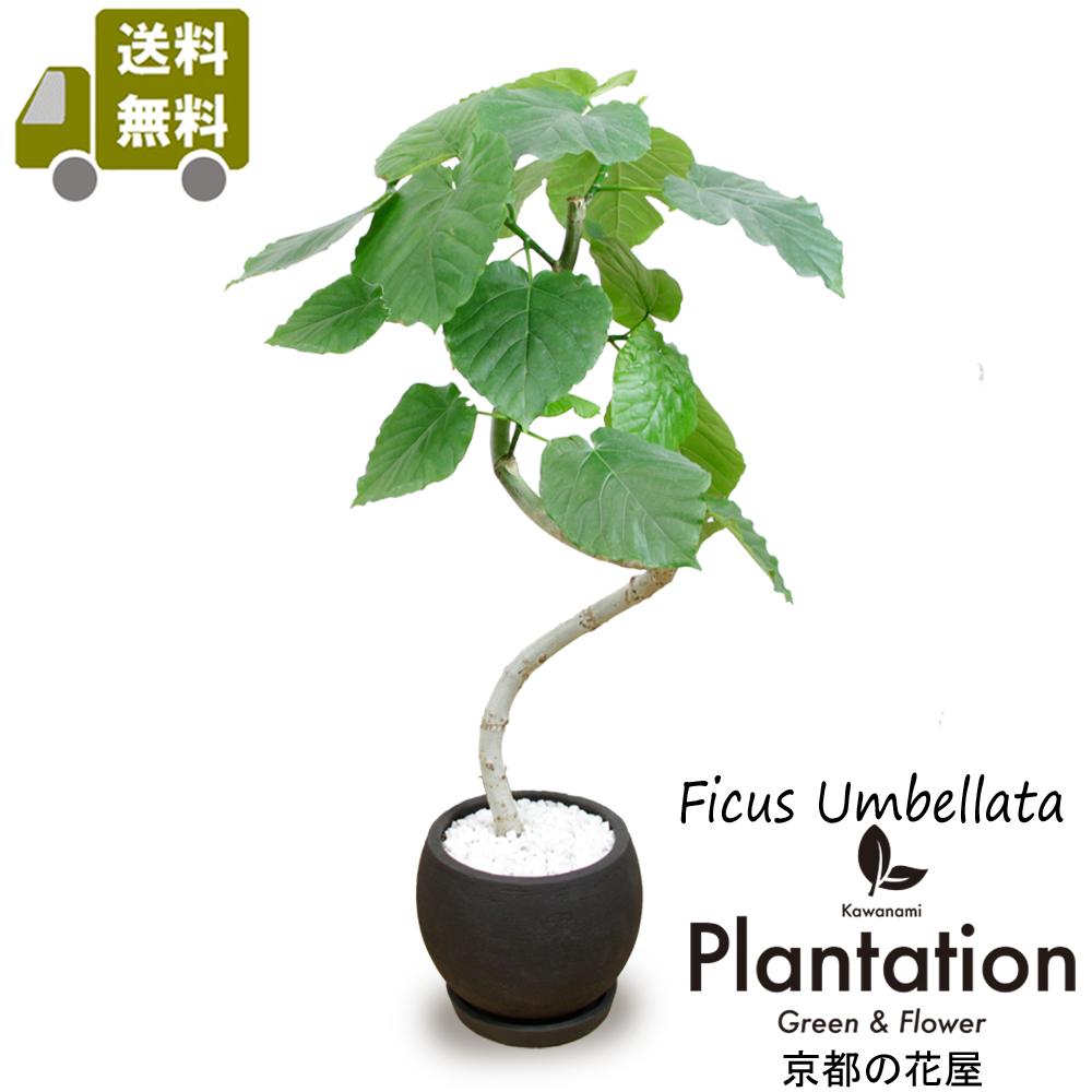 【送料無料】観葉植物 ウンベラータ幹曲り陶器鉢仕立てインテリア雑誌などでスタイリッシュな植物として人気です。立て札&メッセージカード無料!