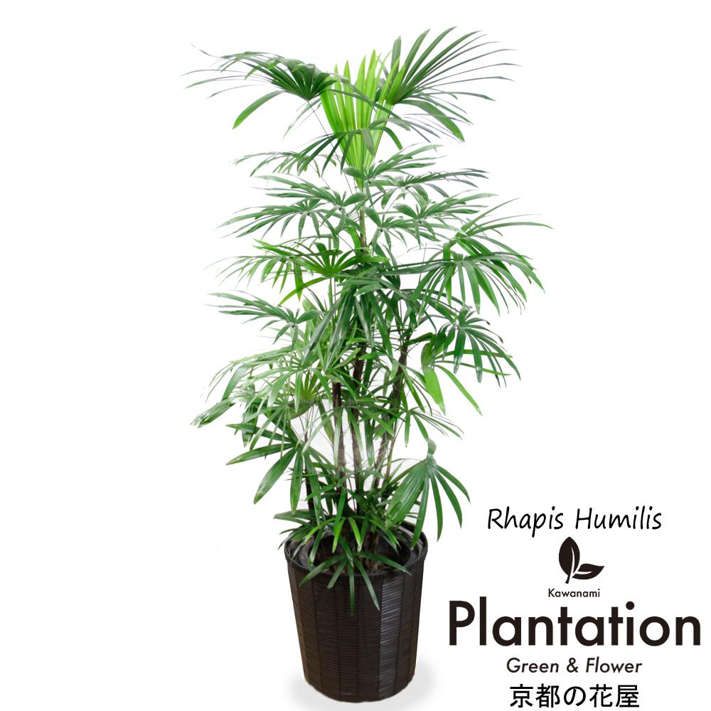 和風 アジアンテイストな観葉植物 高級感漂う和モダンな観葉植物棕櫚竹 シュロチク 10P03Dec16 セール価格 メッセージカード無料 10号 毎日続々入荷 立て札