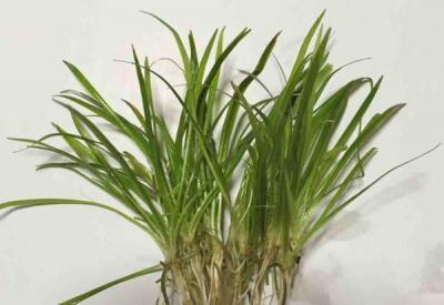 草丈が短くランナーでよく増える 期間限定 国産無農薬 本物 エキノドルス 5本 テネルス