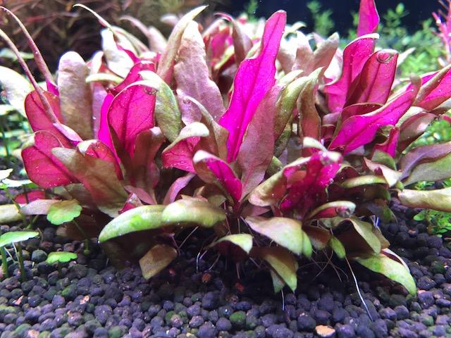 世界の水草が手に入る 水草 驚きの値段で アルテルナンテラレインキー 限定モデル 無農薬 ミニ 3本