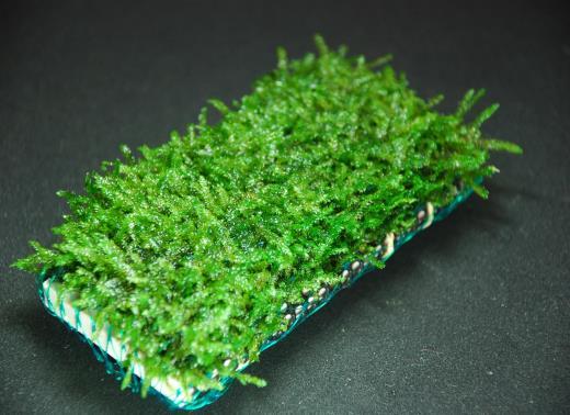 世界の水草が手に入る 水草 国産無農薬 激安特価品 ウィローモスマット 横10cm 置くだけ簡単レイアウト 縦5cm 市販