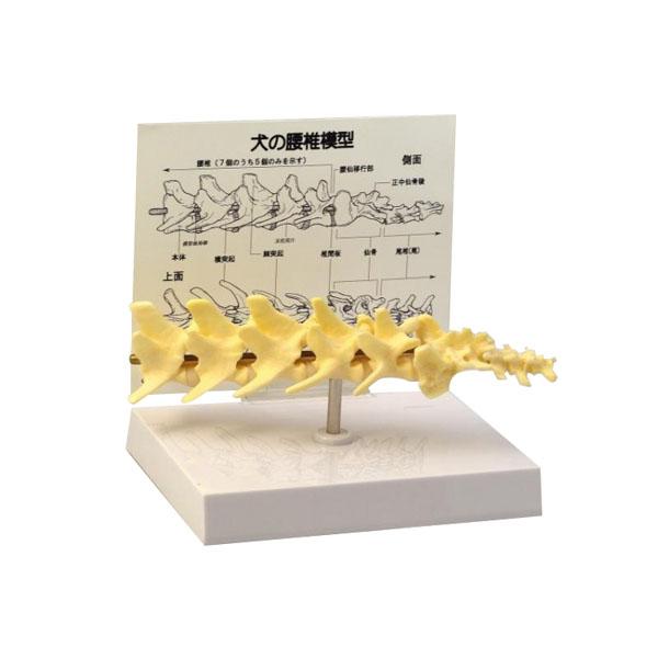 犬の腰椎模型犬の腰椎模型, 干潟町:309d3b66 --- sunward.msk.ru
