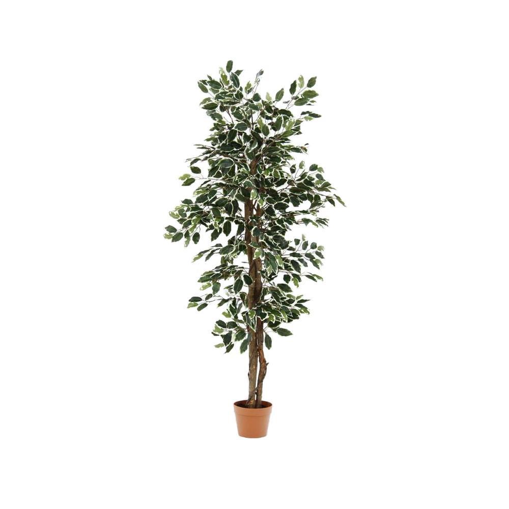 観葉植物 フィカス 690 B 52663 [ラッピング不可][代引不可][同梱不可]