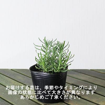 """香草的苗""""薰衣草·hidekoto(hiddokoto,hidokoto,海德大衣)9cm暖水瓶""""(人字形绷架派)"""