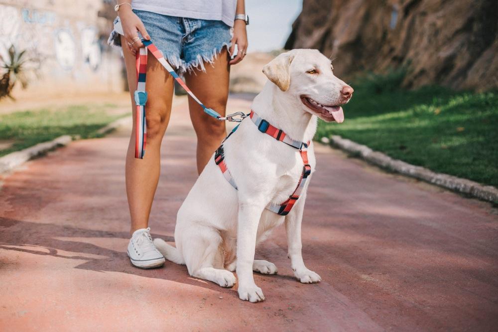 eWESTCOAST RAKUTEN ICHIBATEN: zee.dog (G dog) H-HARNESS H- harness