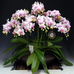ミディ胡蝶蘭 ハルガスミ 和仕立て ピンク お祝い ギフト 誕生日 ミニ胡蝶蘭 開店祝い 洋ラン 花 原種 洋蘭 珍しい 蘭