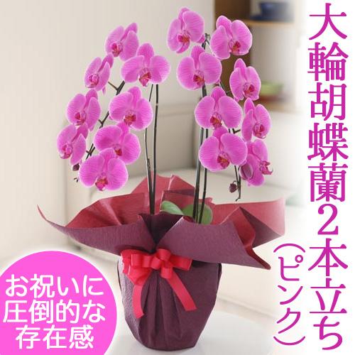 【鉢植え・花鉢】大輪胡蝶蘭2本立ち(ピンク)【千趣会イイハナ】