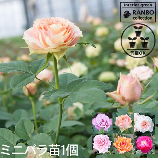 (6株) 胡蝶蘭を育てましょうセット ★期間限定★胡蝶蘭をご自宅で育ててみませんか。 【送料無料】