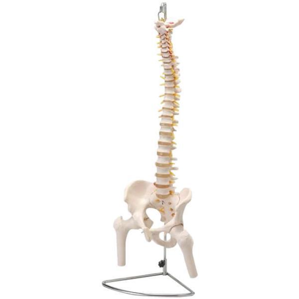 comolife 人体模型シリーズ 大腿骨付脊髄帯神経整体模型 (0876ak)【smtb-s】