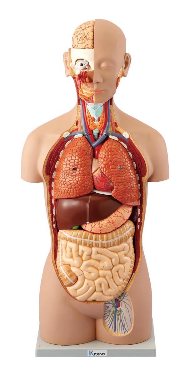 ケニス 人体解剖模型(トルソー型) AL-16