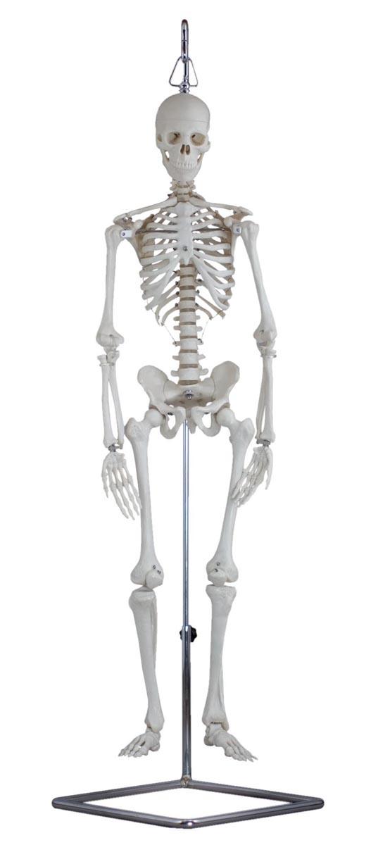ケニス 人体骨格模型 MS-80