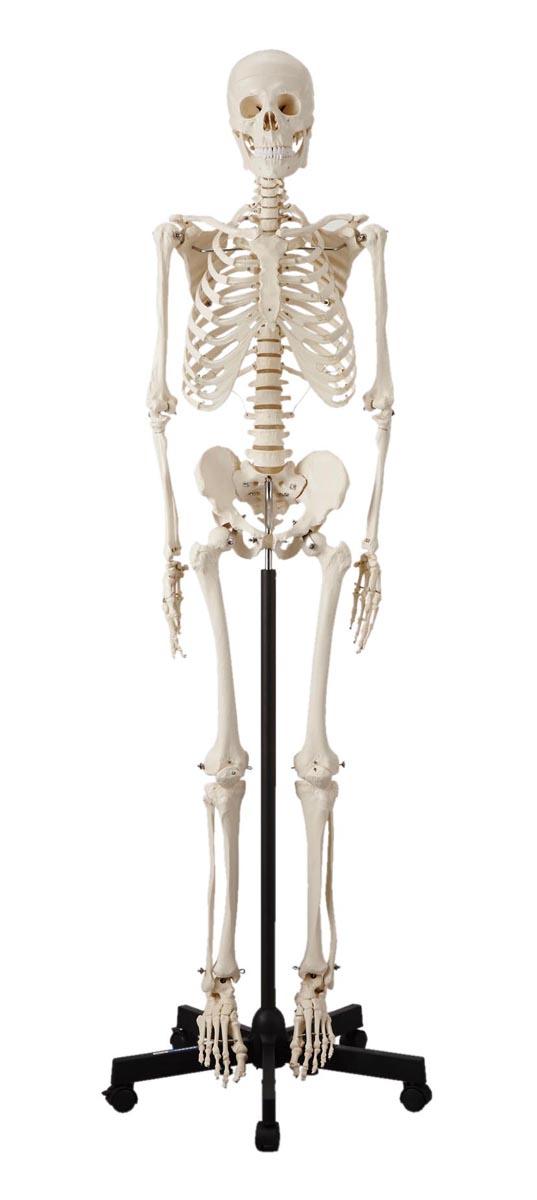 ケニス 人体骨格模型 HS