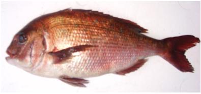 愛媛 ラッピング無料 宇和海の漁場で育てられた鯛です 安高水産限定のこだわり真鯛です ふかうら真鯛 開催中 2.0キロ前後 安高水産限定 養殖