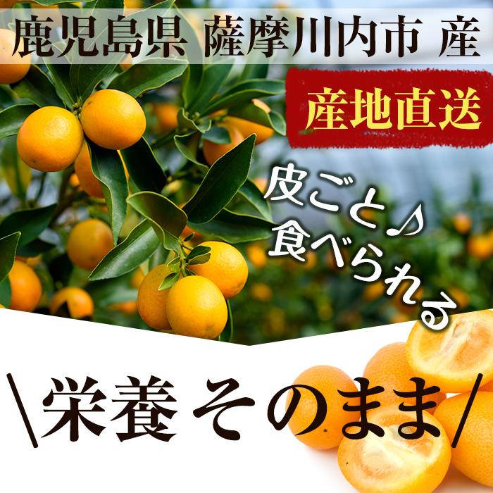 【今季販売終了しました】【ご予約承り中】ハウスきんかん(ネット) 2L×1kg(約40個前後)【糖度14~16度】入来 いりき きんかん 金柑 キンカン 国産 果物 南国 フルーツ 柑橘 鹿児島県産 九州