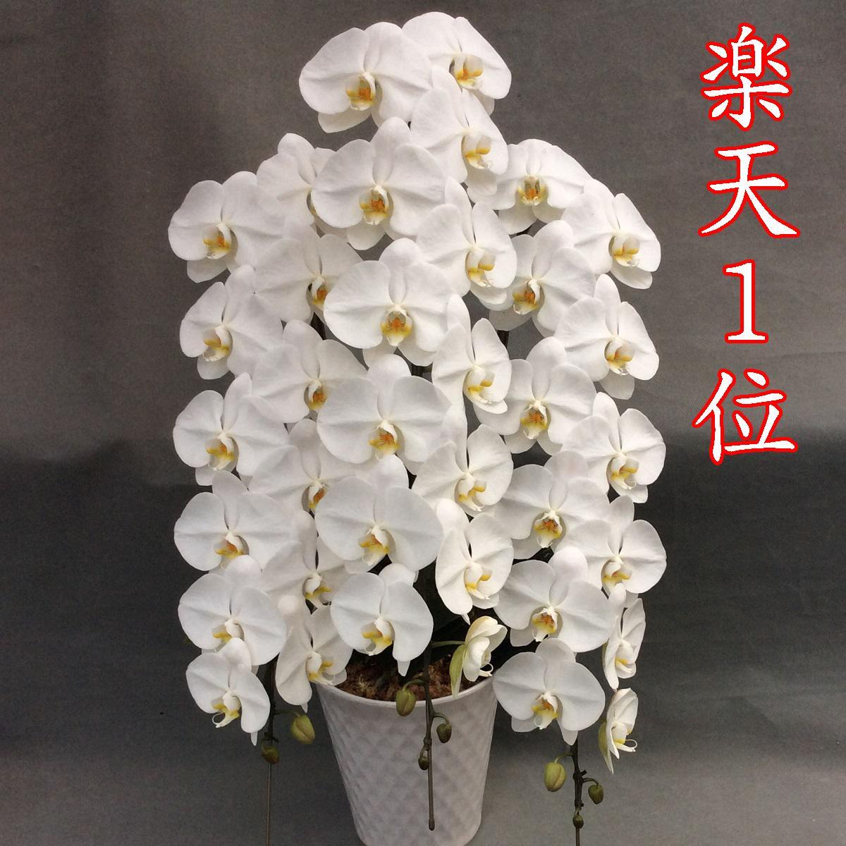 胡蝶蘭 3本立ち 白 大輪45輪(蕾込み)以上【送料無料 税込みで24800円!!】【1位獲得】 花  お供え お祝い コチョウラン こちょうらん