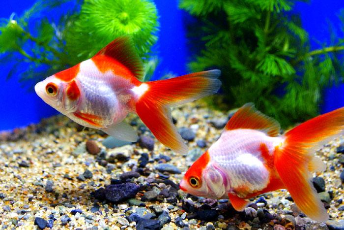 更紗琉金 3匹 金魚 Sサイズ 約3cm~約5cm 国産 川魚 【2点以上7000円以上ご購入で】