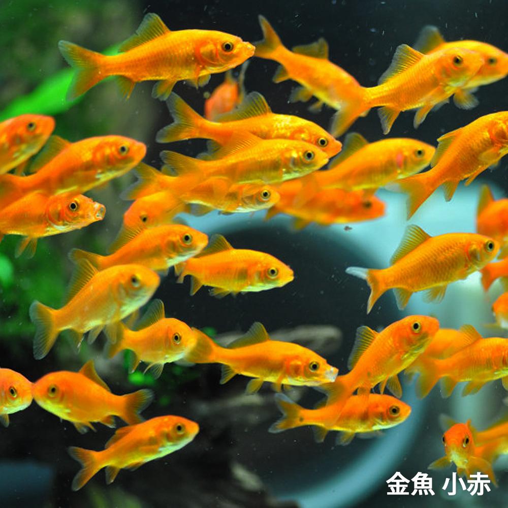 金魚 未使用 小赤 エサ用金魚 餌金 100匹 エサ キンギョ 生餌 餌 ☆新作入荷☆新品 生体 きんぎょ